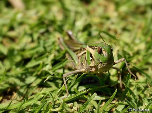animaux-17-grasshopper-afrique-sud_martin-heigan