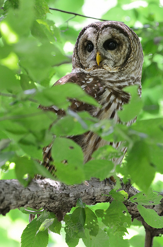 animaux-22-Barred-owl_Jemison-Park-Nature-Trail_Mountain-Brook_Alabama_ralph-daily
