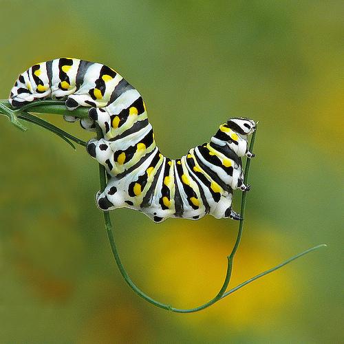 animaux-23-Black-swallowtail-caterpillar_georgie-usa_vicki-De-Loach