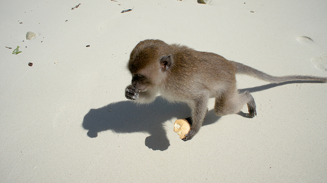 animaux-26-Monkey-Island_Ko-Phi-Phi_Thailand_oarranzli