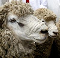 mouton-laine-05