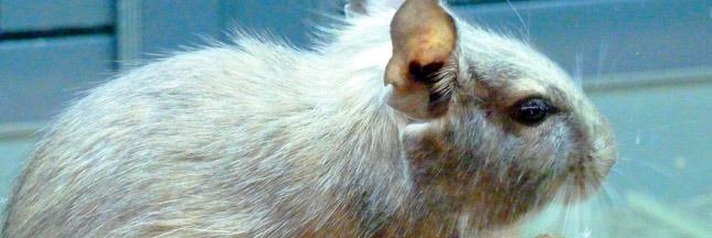 L'Europe bannit les tests sur les animaux  Rat-ban
