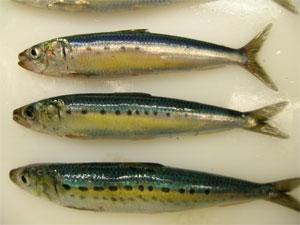sardinesFraiches