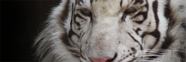 Sergueï Bereznuk se bat pour les derniers tigres de Sibérie