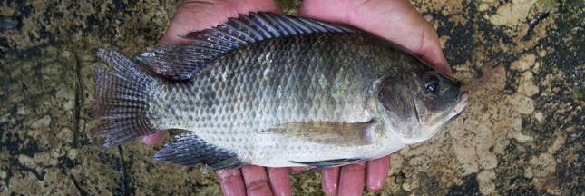 Le tilapia, le poisson le plus consommé au monde