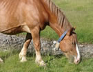cheval de trait viande