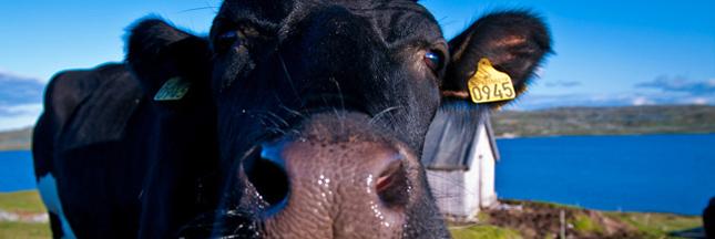 Retour des farines animales dans l'élevage