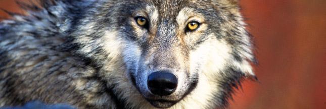 80 % des Français favorables aux loups