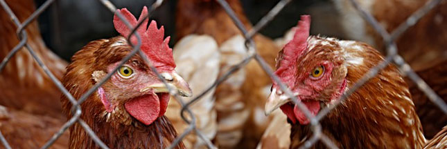 Monoprix refuse les oeufs de poules en cage : nous aussi !