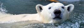 L'ours blanc broie du noir