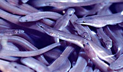 (inspiration: la civelle ou pibale, est l'alevin de l'anguille européenne - © CC, Uwe Kils)