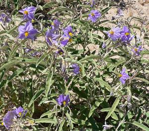 Solanum elaeagnifolium ou morelle jaune. CC Stan Shebs