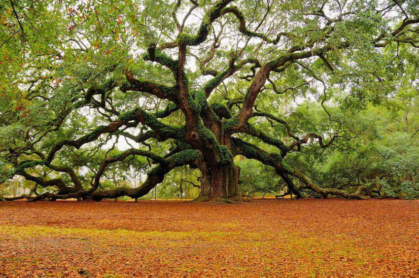 plus vieux arbres, Angel-Oak-Charleston