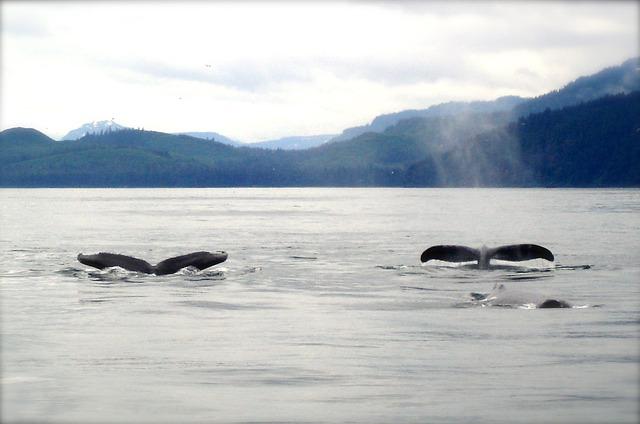 baleines-groenland