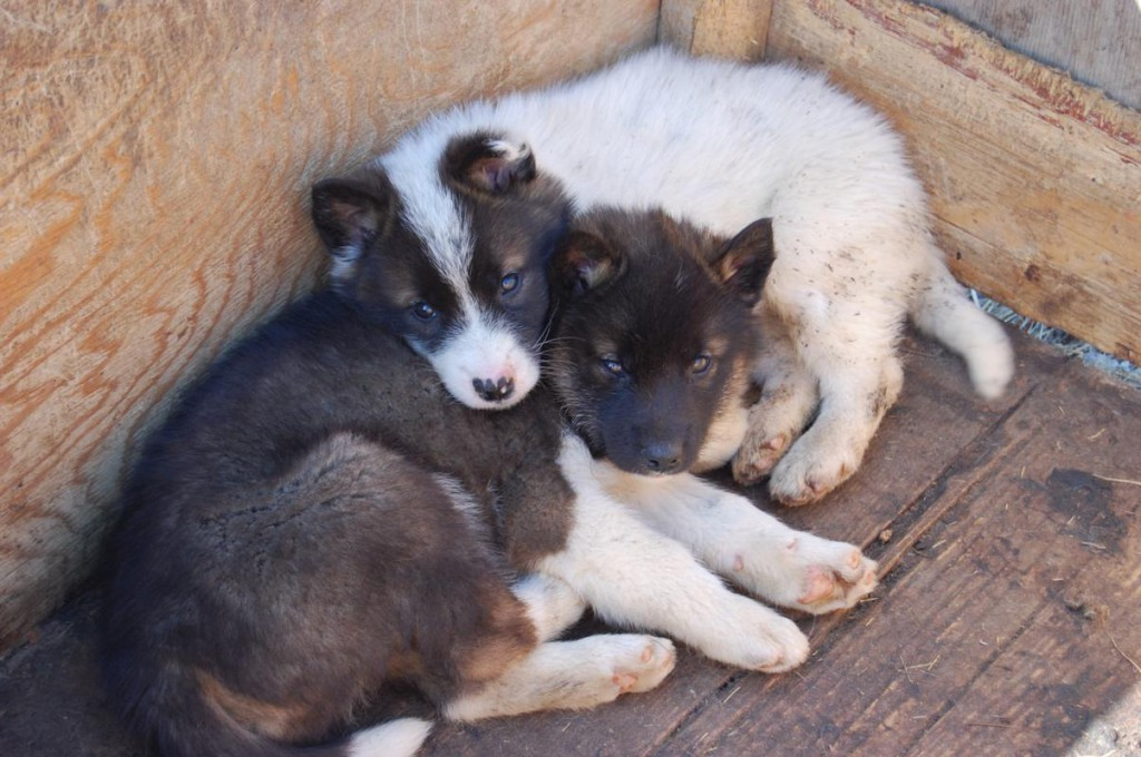 chiots-inuits