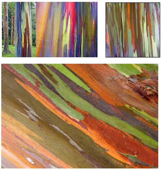 arbres les plus originaux, eucalyptus-arc-en-ciel-arbre