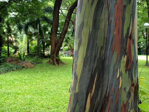 arbres les plus originaux, eucalyptus-rainbow