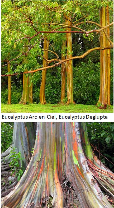 arbres les plus originaux, eucalyptys-arc-en-ciel-2