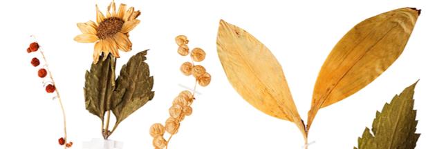 Avec les Herbonautes participez à un herbier collaboratif