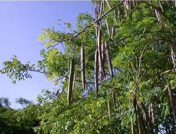 moringa importation bois illegal
