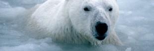 L'ours blanc voit la vie en noir (2)