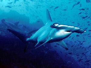 requin-marteau-halicorne-02