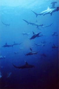 requin-marteau-halicorne-03
