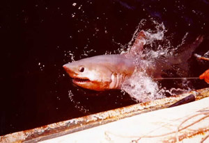 requin-marteau-halicorne