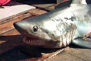 requin-taupe-tete