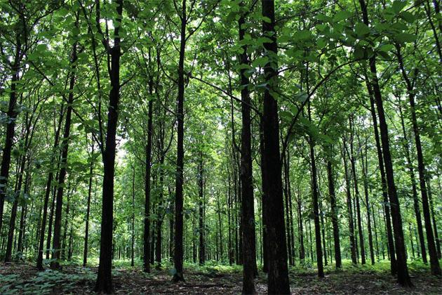 Une forêt de tecks de 18 ans