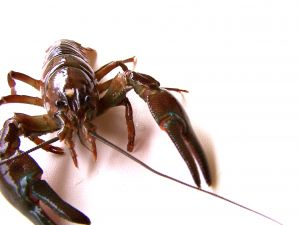 863852_crayfish_5