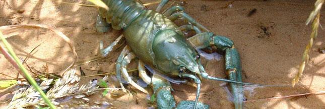 Guide des poissons : les écrevisses, des espèces à protéger