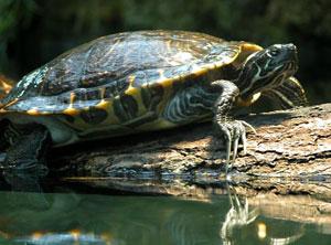 Les tortues de Floride relâchées par leurs propriétaires dans la nature quand elles deviennent trop grandes, concurrencent fortement les espèces natives. Photo CC:  Wilfried Berns
