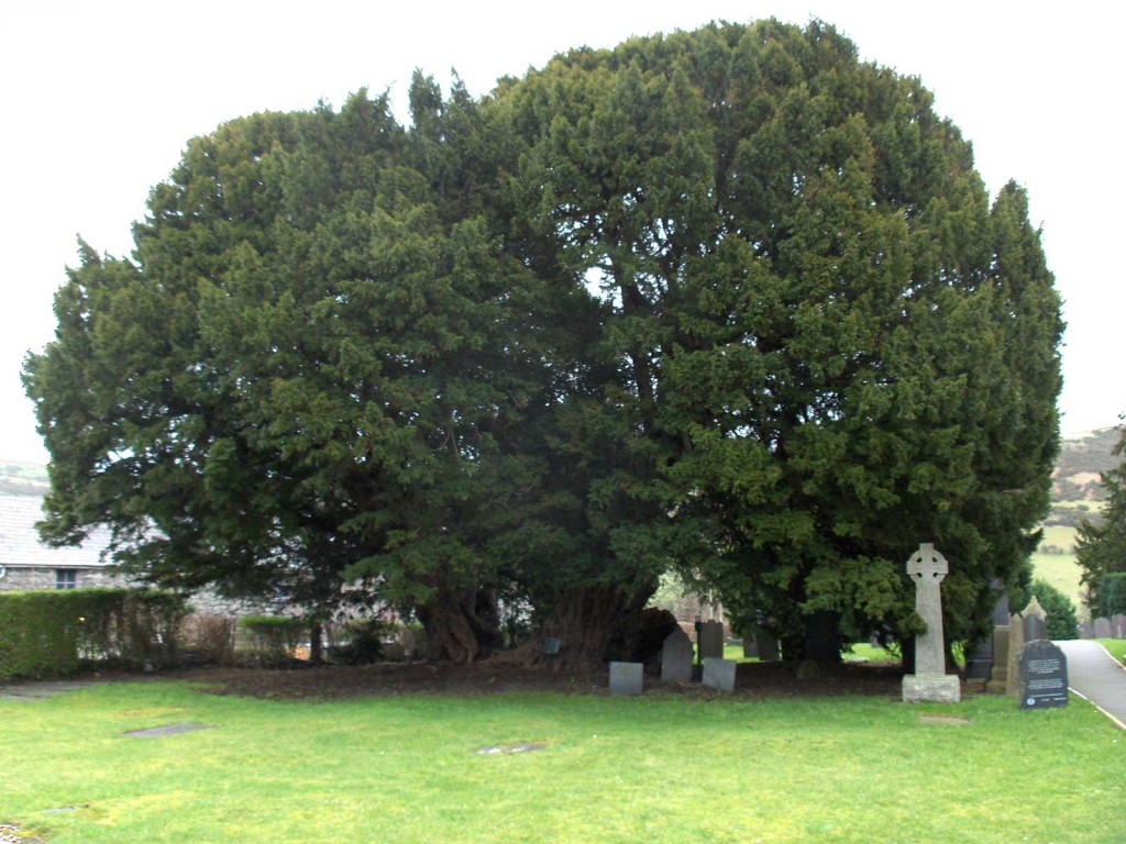 plus vieux arbres, Llangernyw_yew-if