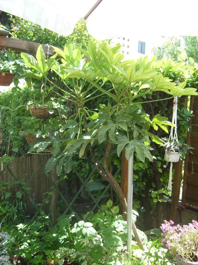 aralie-jardin