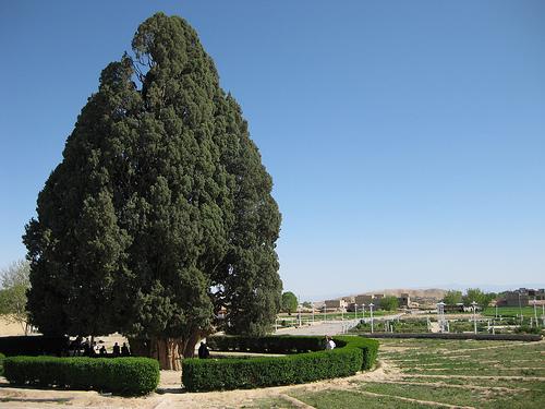 plus vieux arbres, cypres-arbarqu-iran