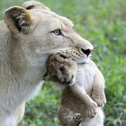 lionne-cub