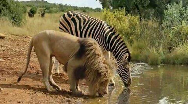lyon-zebre