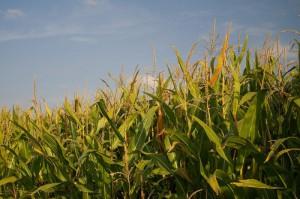 Depuis le 25 février, les 27 imposent des obligations de tests de toxicité pendant 90 jours pour toute demande d'importation et de commercialisation d'OGM.