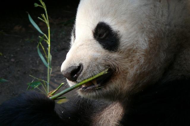 panda - pandatthlon