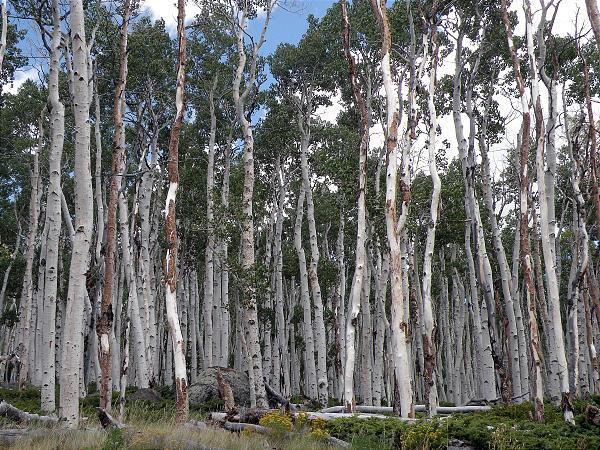 plus vieux arbres , faux trembles