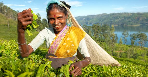 Plantation de thé équitable