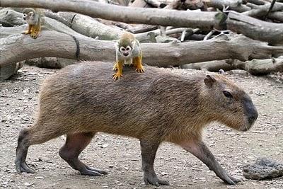 porc-singe