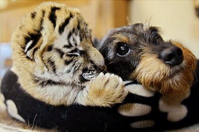 tigron-chien