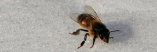 Un tiers des abeilles décimées cet hiver aux Etats-Unis