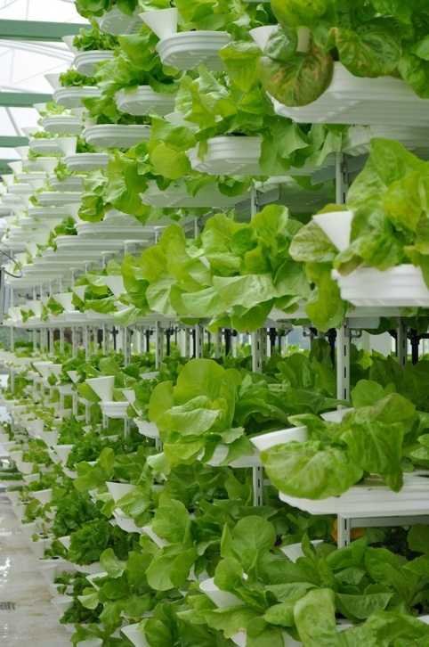 ferme-verticale-salades