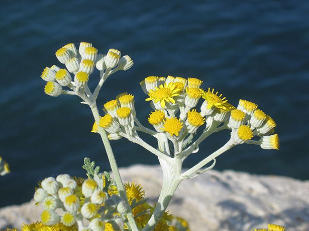 immortelle, helichrysum italicum, fleur