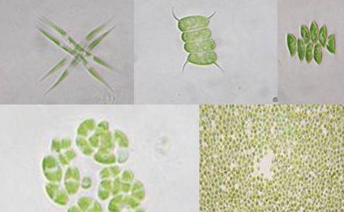 micro-algues