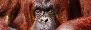 Pétition : orangs-outans vs mines et huile de palme