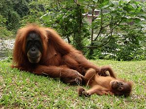 sumatra-orang-outan-famille